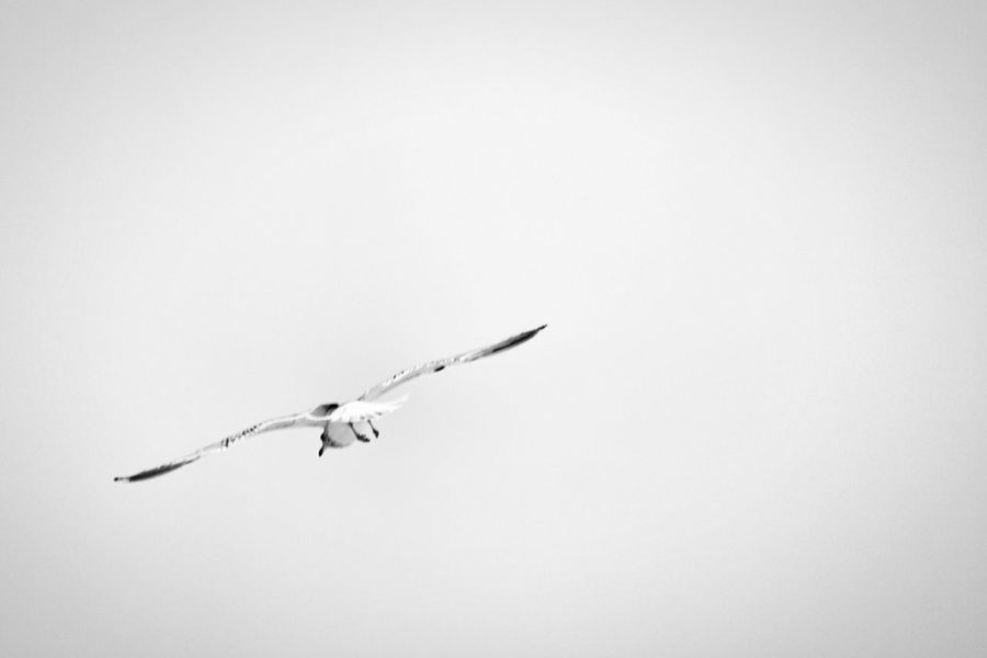 2017 Februari Niklas Tantolunden Stockholm Showcase February 2017 Sweden Flying One Animal Animal Themes Bird Animals In The Wild Spread Wings Outdoors Common Gull BYOPaper! The Week On EyeEm Perspectives On Nature Black And White Friday