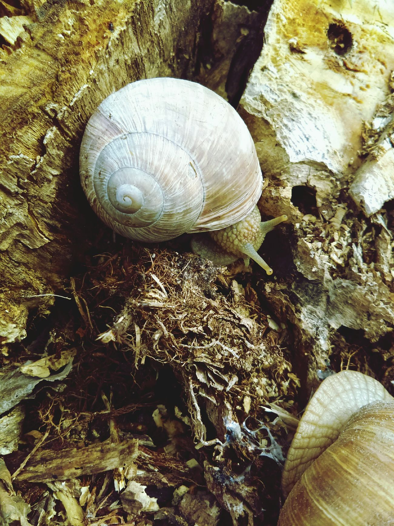Snail Animal Themes Animal Shell Animals In The Wild One Animal Wildlife Gastropod Day Close-up High Angle View Nature No People Animal Wildlife Outdoors Fragility EyeEmNewHere Nature Snail Shells in Lithuania