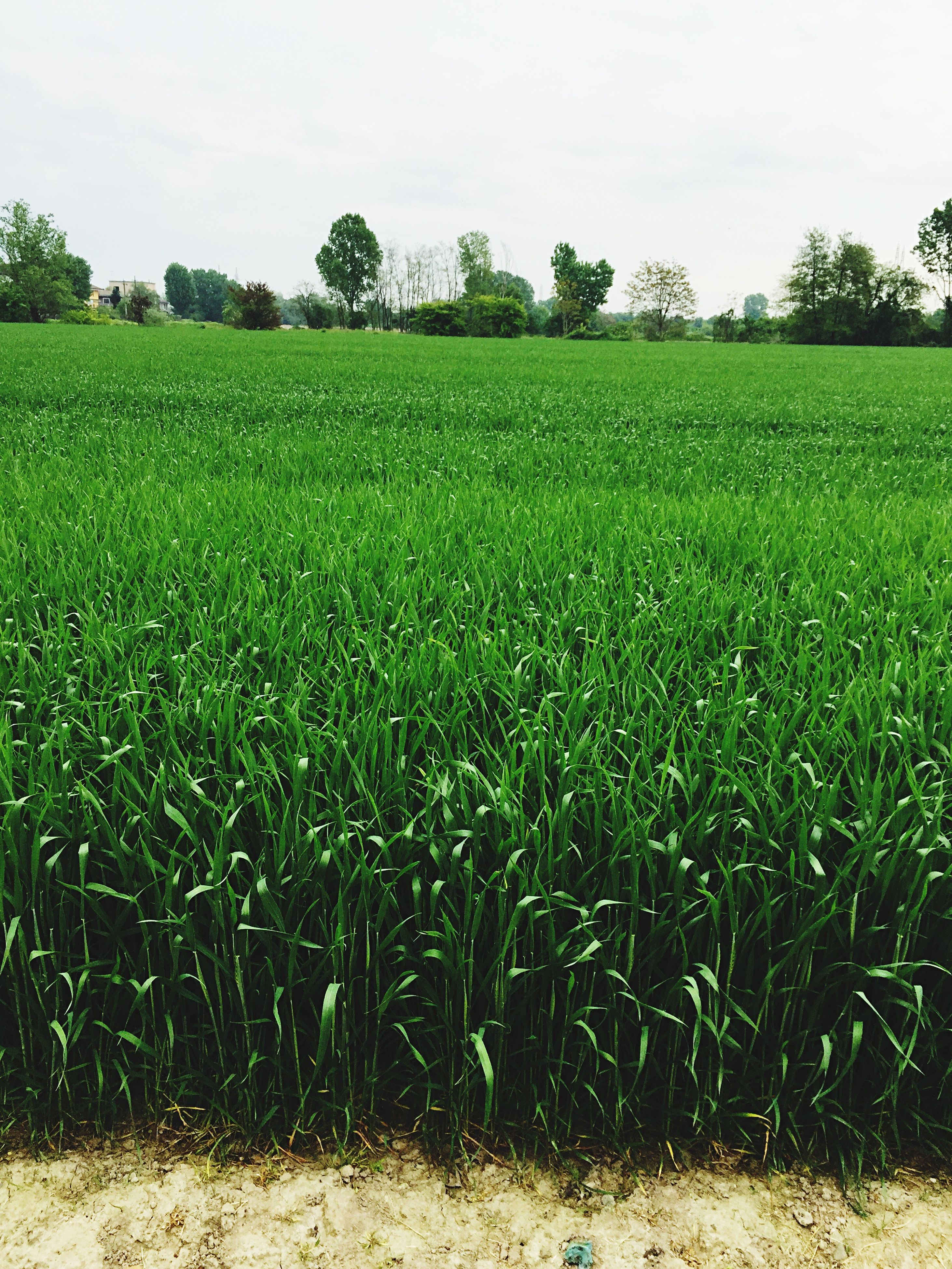 field, grass, growth, green color, landscape, tranquility, tranquil scene, rural scene, beauty in nature, agriculture, grassy, nature, scenics, farm, crop, clear sky, tree, sky, green, plant