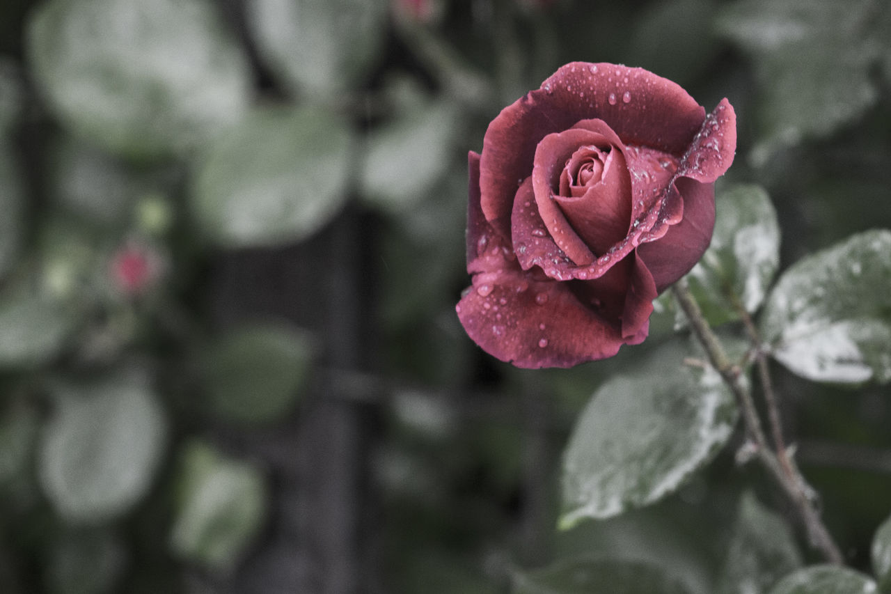 Beauty In Nature Blooming Close-up Day Drop Flower Flower Head Focus On Foreground Fragility Freshness Growth Nature No People Outdoors Petal Pink Color Plant Rose - Flower Water Wet Red Red Rose RainDrop After Rain Softness