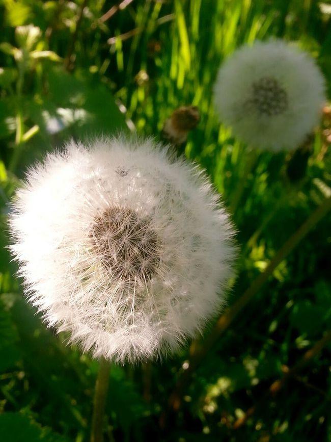 ... Wiosna Flower Kwiatek Spring Dmuchawiec Beautiful Nature Beautiful Day