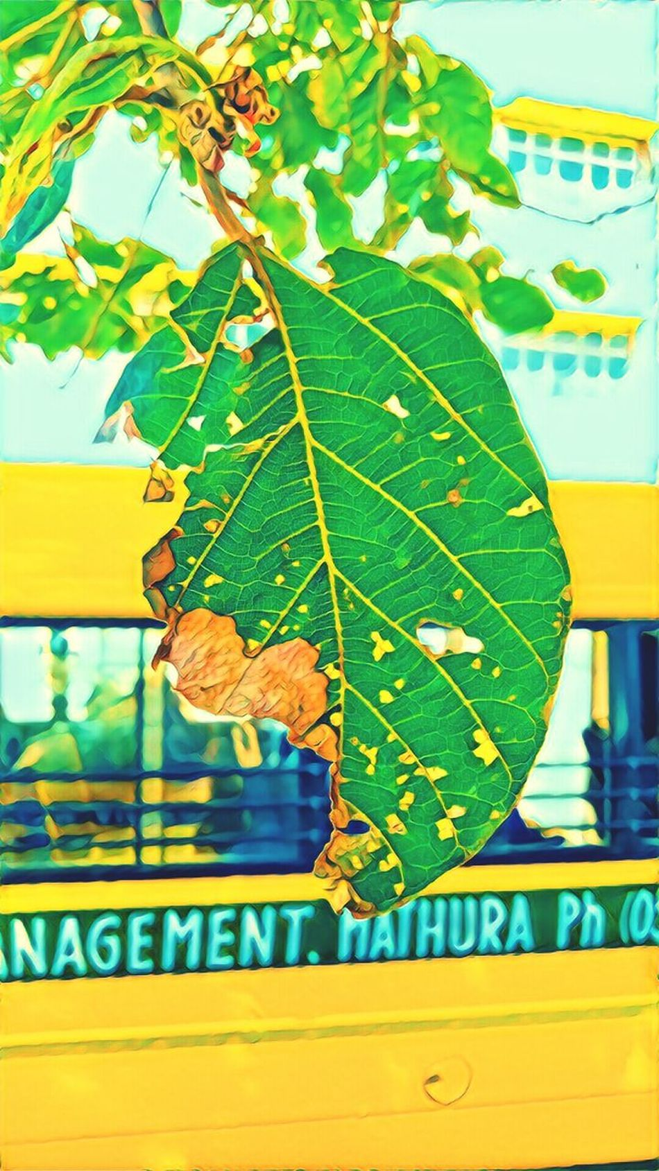 Leaf Nature Green Color Close-up Hanging Freshness Growth Day Beauty In Nature College Campus Backyardphotography Sudden Capture Born To Be Wild Xerographica Leafs 🍃