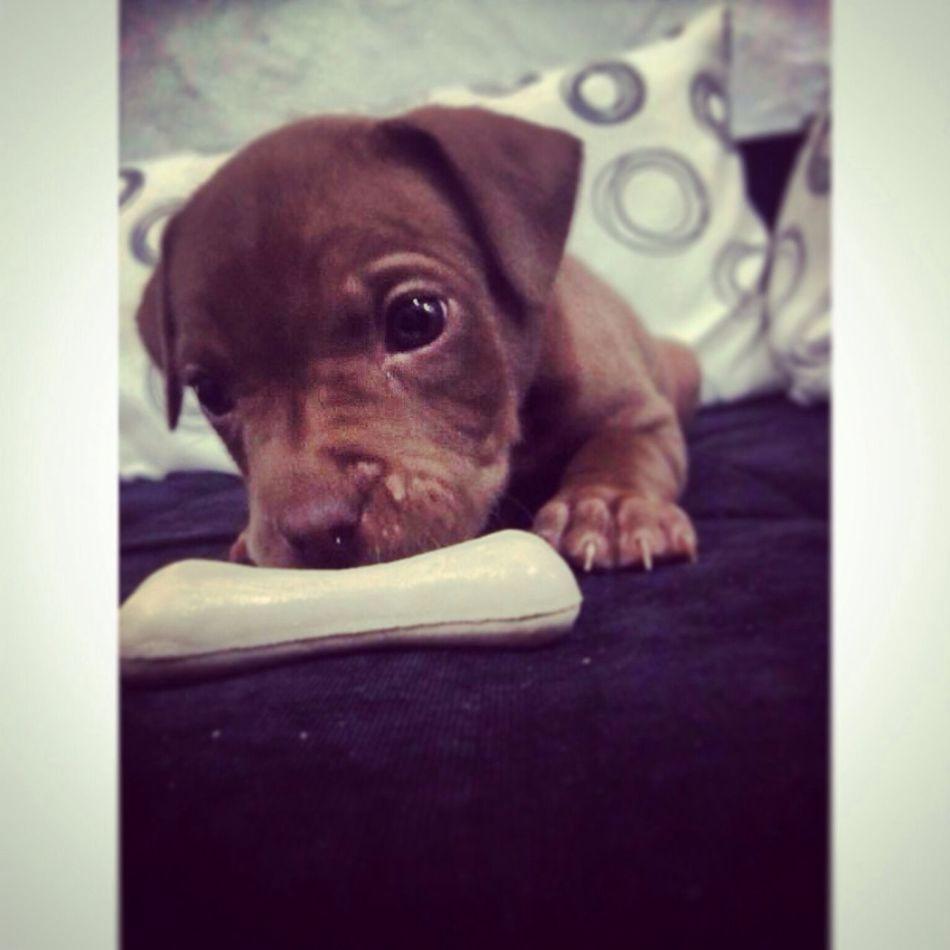 My dog Puppy Pitbull Animal Love Happy Dog