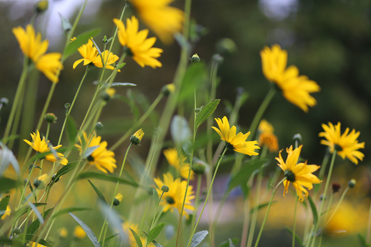 Blooming Background Beauty In Nature Blooming Close-up Day Field Flower Flower Head Fragility Freshness Garden Growth Nature No People Outdoors Petal Plant Yellow