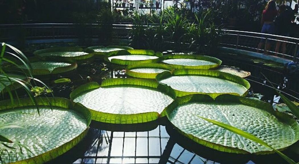 Water Day Floating On Water Outdoors Plant Luxury No People Lily Pad Greenhouse Freshness Vibes On A Summers Day Summer Memories 🌄 Fragility Leaf Orchid June 2017 Plant Nature Flower Nostalgic Landscape Tranquility Moments Summer 2017 Missing Summer The Week On EyeEm Summerfeeling Lost In The Landscape