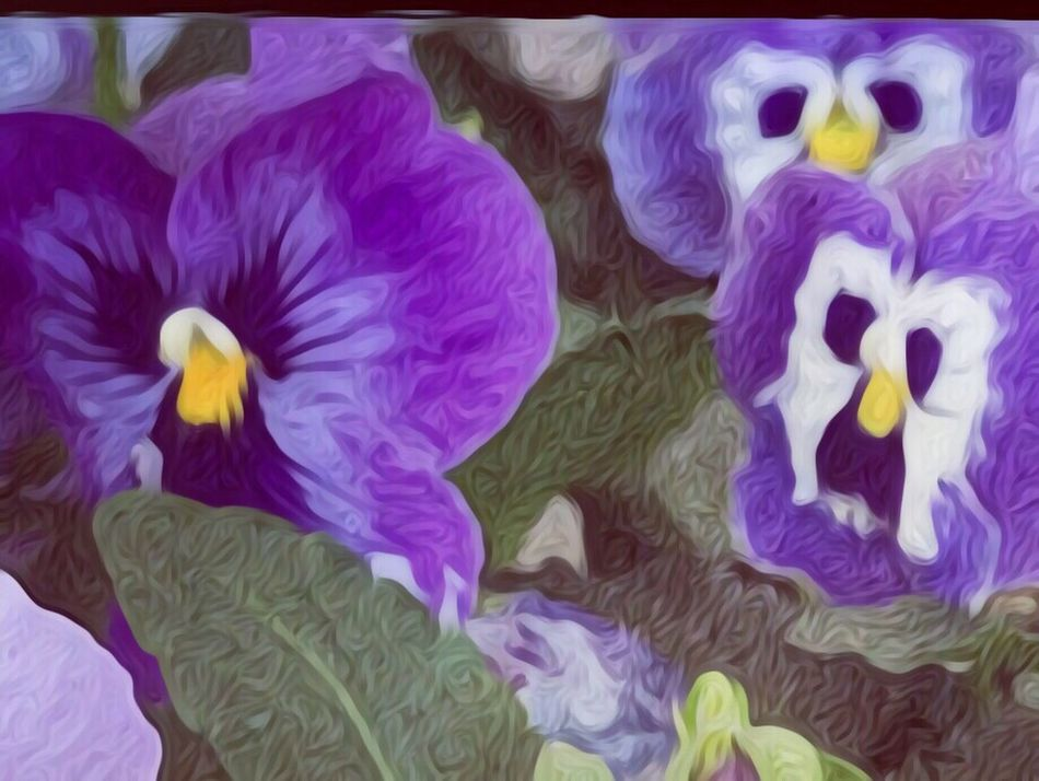 Pansy flowers Multi Colored Full Frame Close-up No People Indoors  Day IPhoneography