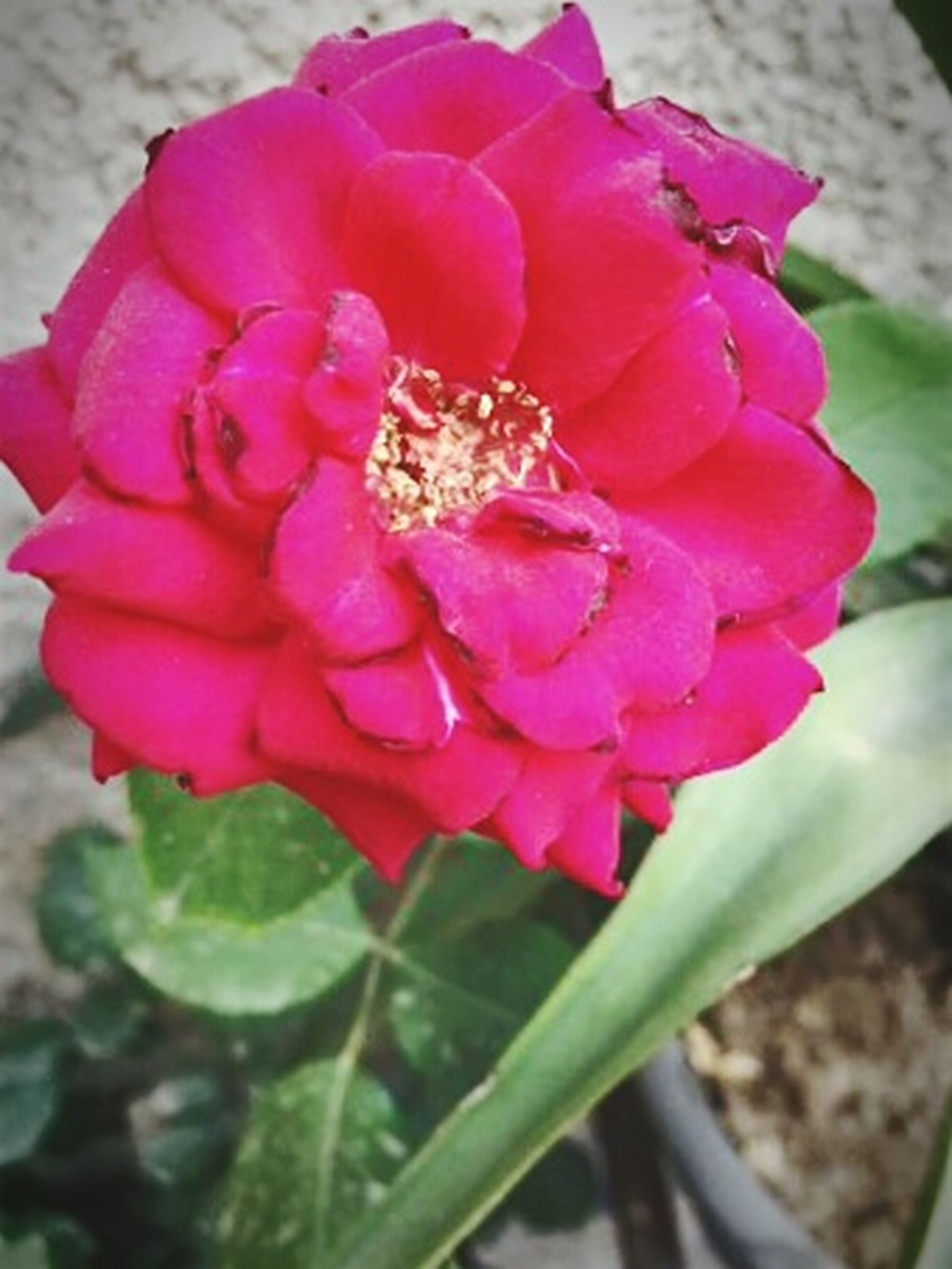 flower, nature, petal, plant, pink color, growth, beauty in nature, no people, blooming, close-up, outdoors, day, water, freshness, flower head