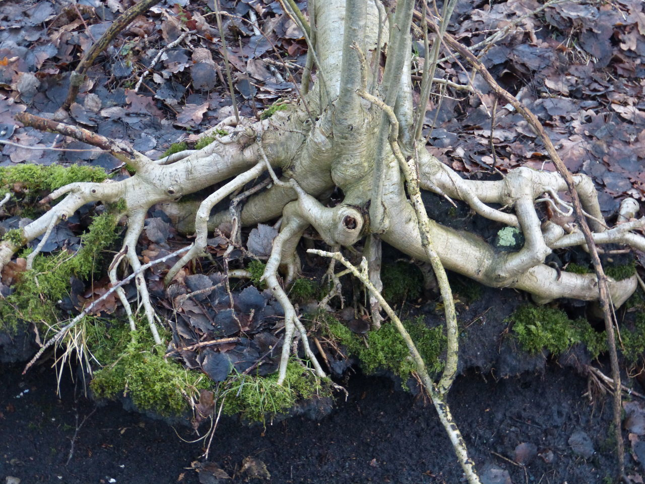 Tree-Root Branch Close-up Day Fairy Fairytale  Fairytales & Dreams Forest Forest Photography Forest Trees Forestwalk Growth Mystic World Of Nature Mystik Nature No People Origin Natur Outdoors Root Tree Tree Trunk Tree Trunk Tree_collection  Trees Wood - Material Wooden