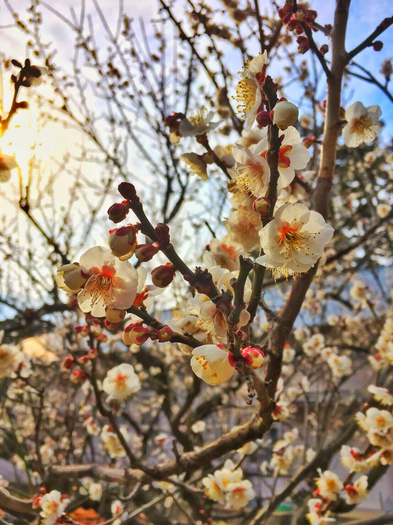 Odawara Flower Ume Blossom Japanese Apricot Nature Tree Plum Blossom No People