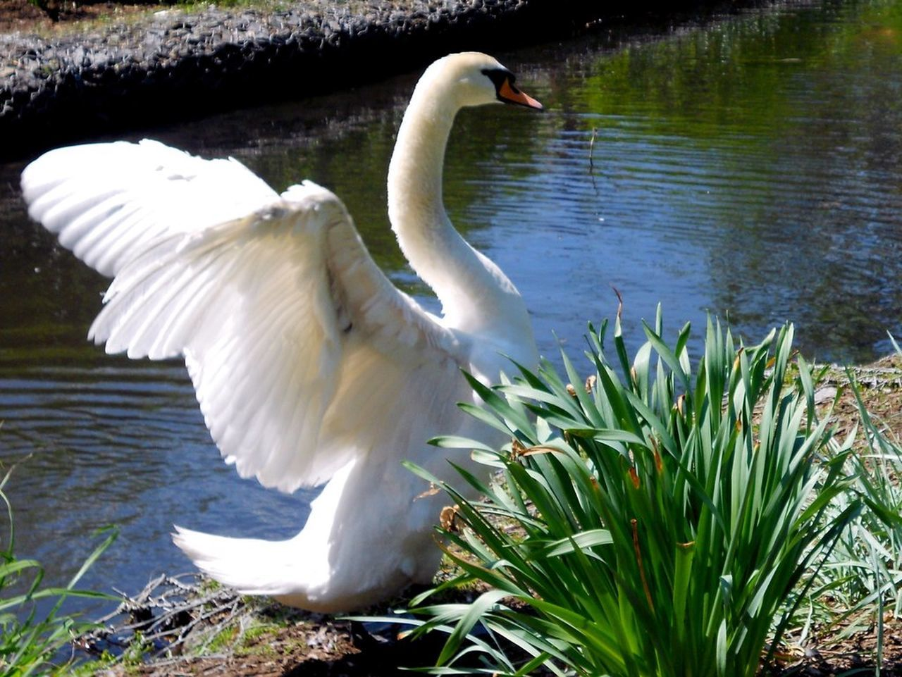 animal themes, bird, animals in the wild, lake, white color, water, one animal, swan, animal wildlife, day, nature, spread wings, no people, water bird, grass, outdoors, beauty in nature, swimming