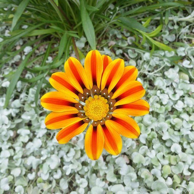 Nofilter 🌺🌞 Flowers Blooms Photography Sunshine Favoriteflower Portrait Standout SimplyBEAUTIFUL Nature's Diversities