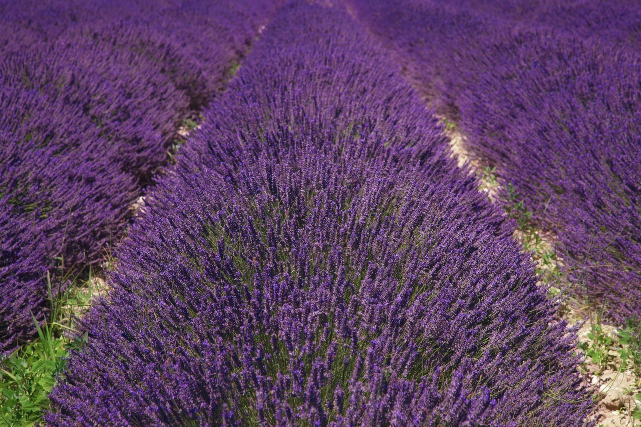 Lavender field Purple Beauty In Nature Nature Growth No People Outdoors Field Agriculture Backgrounds Flower Freshness Scenics Fragility Day Field Flower Head Perfume Summertime Summer Provence Drôme France Flowers Lavender Nature
