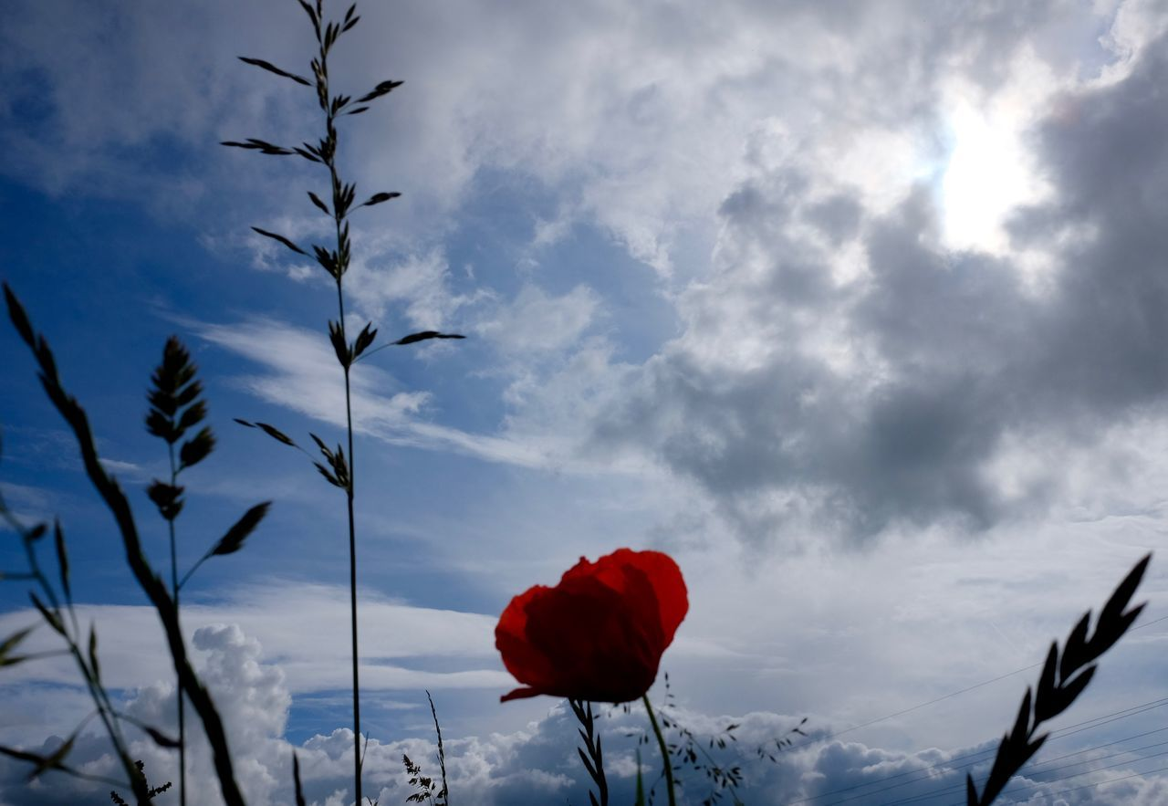 Beauty In Nature Close-up Cloud Cloud - Sky Flower Low Angle View Poppy Poppy Flower Red Scenics Sky Tranquil Scene