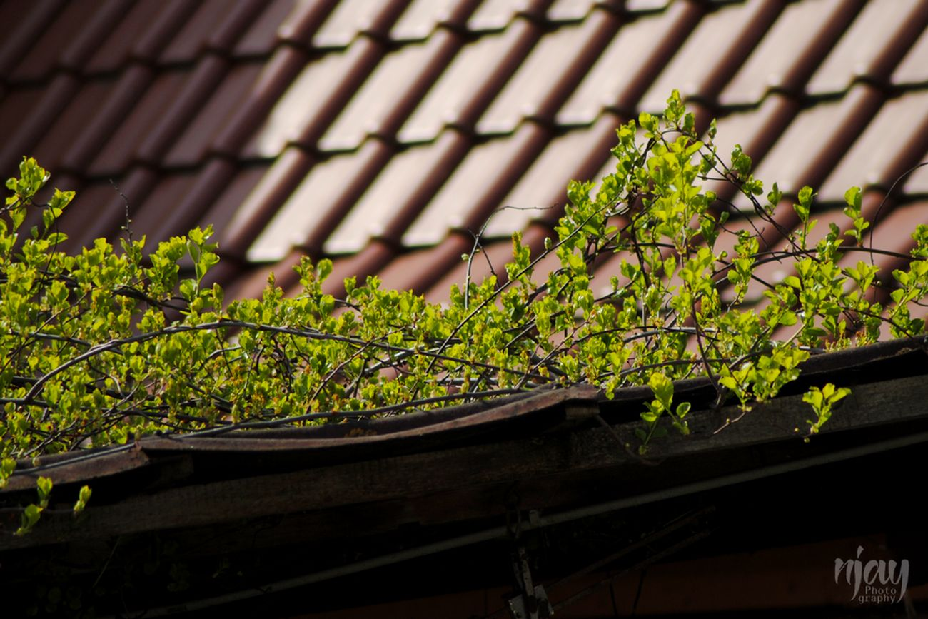 Roof Rooftop Rooftop Scenery Roof Tiles Tiles Plant Building Green Color Nature Nature_collection Naturelovers Nature On Your Doorstep Layers Spring Nikon Simple Beauty Beauty In Nature Architecture Building Exterior Buildings Staff Tree Botany Layered Natural Layers EyeEm Nature Lover