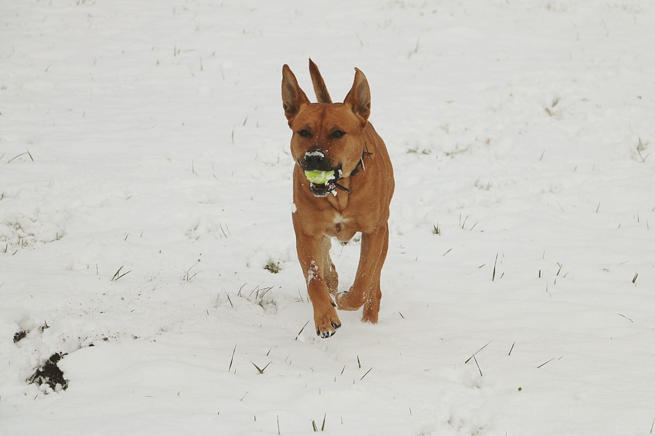 Snowy Days and Happy Dog⛄🐶 One Animal Looking At Camera Portrait Animal Pets Outdoors Motion Running Dog Playing Play Time Home Pets Running In The Snow Wintertime Winterwonderland Dog Playing Animal Playing Tennis Ball Animal Themes American Staffordshire Terrier Mixed Breed Dog Up Close Animal Shot Dogs Of EyeEm