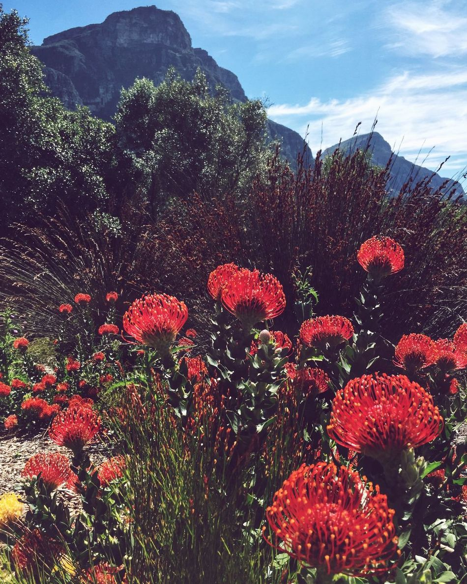 Africa Botanical Gardens Cape Town Flowers Kirstenbosch Landscape Mountains Nature Outdoors Red South Africa Travel Travel Destinations Travel Photography Yellow