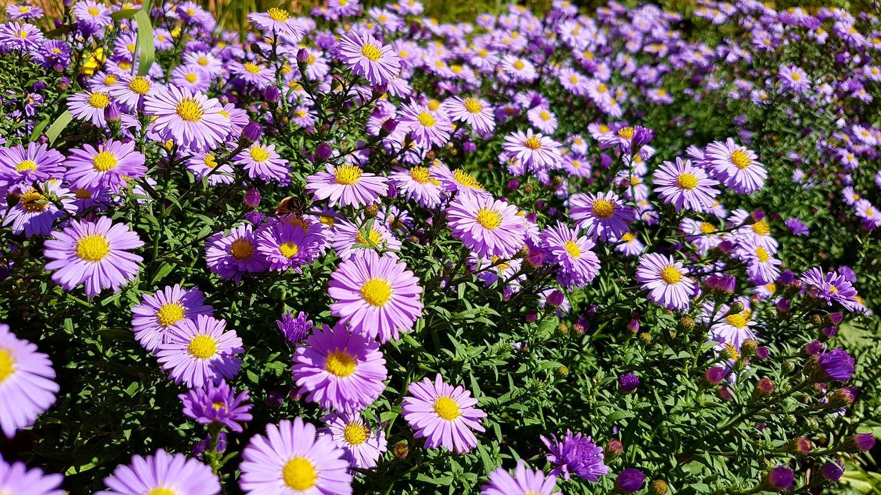 flower, petal, fragility, beauty in nature, growth, nature, flower head, plant, freshness, no people, blooming, purple, day, field, outdoors, osteospermum, close-up