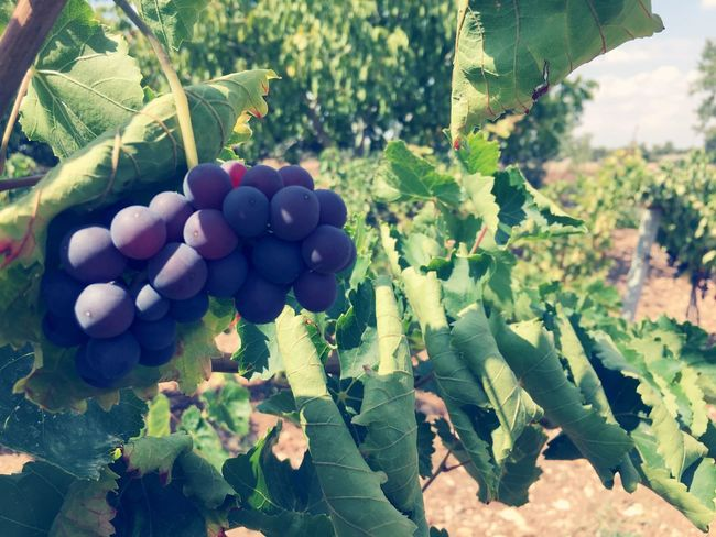 Grape,Wine. Guney/Denizli/Turkey Food And Drink Grape Nature First Eyeem Photo
