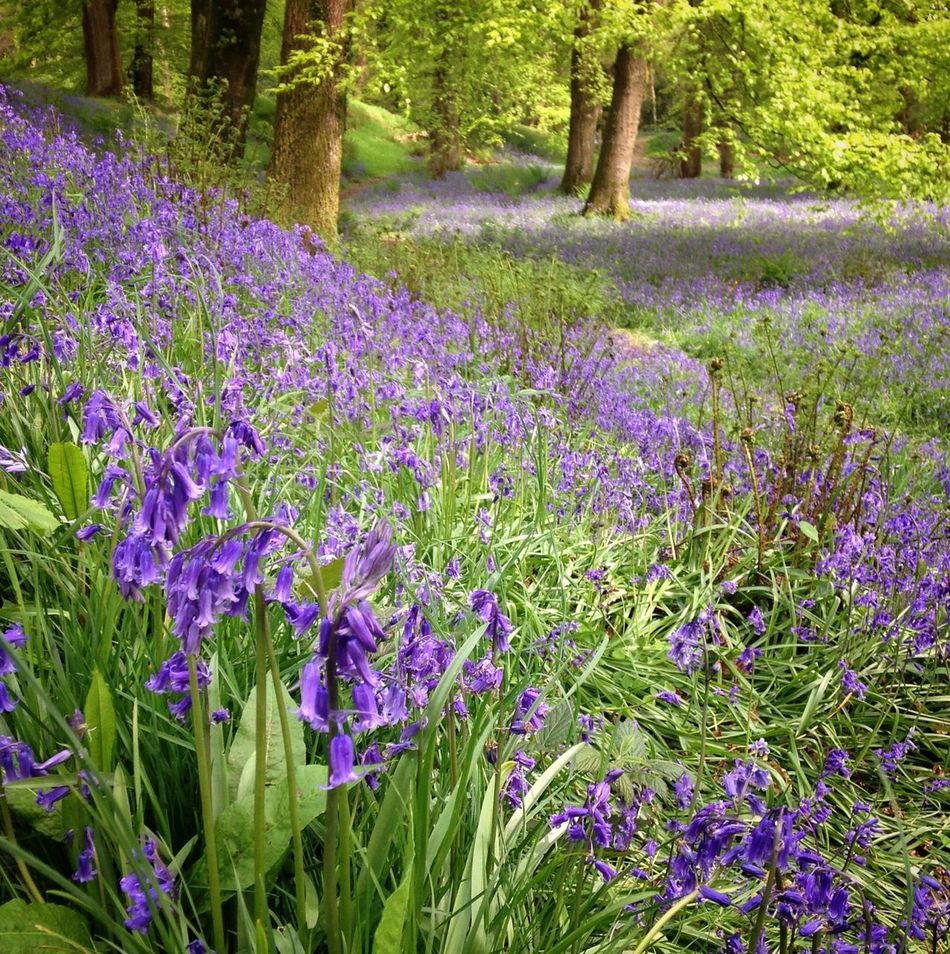 Beauty In Nature Blackandwhite Blackberry Camp Blackberry Castle Photography Blooming Bluebell Wood Bluebells Flower Fragility Freshness Grass Green Green Color Growth Heritage Site Hill Fort In Bloom Nature Plant Purple Purple Flower Tranquil Scene Tranquility Tree