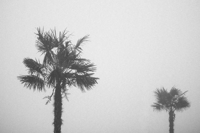 Palm Trees Palms Black And White Photography Cloudy FogFoggy Mist Misty Dark Twin Palms June Nature Summer Vegetation Trees Outdoor Beach Seaside