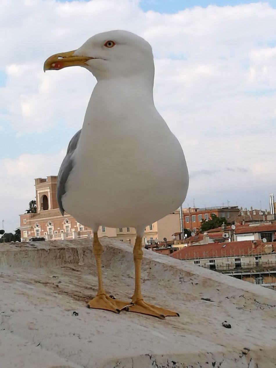 Gabbianella socievole No People Bird City Outdoors Day Rome Roma Gabbiano Gabbiano A Riposo Gabbiano Guardiano Becco Animali Animal Photography