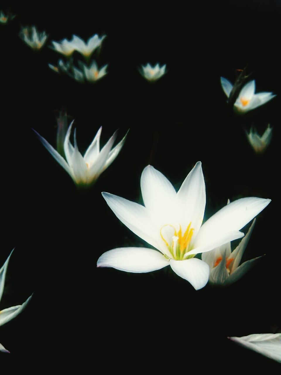 flower, petal, white color, flower head, fragility, freshness, beauty in nature, nature, growth, close-up, no people, day, black background, outdoors
