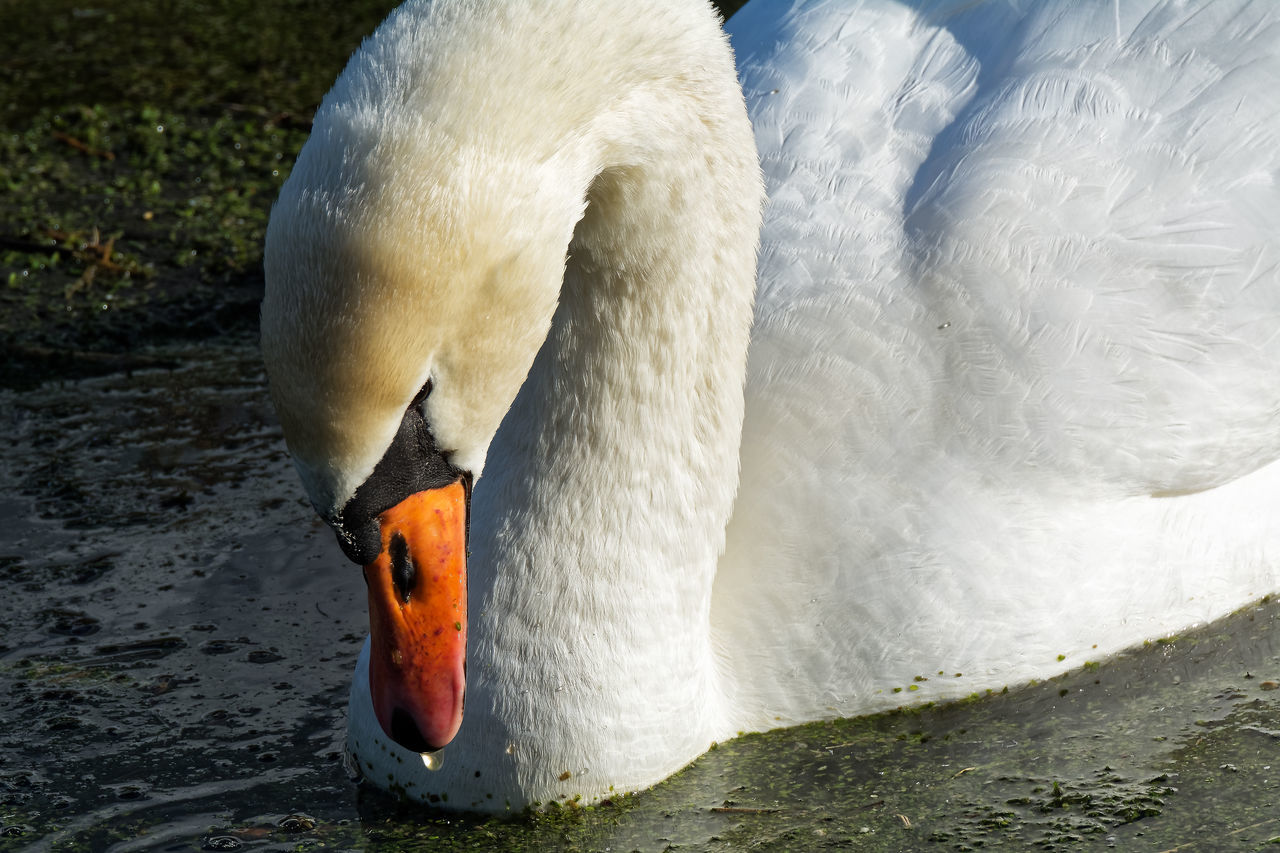 The Drop Adult Animal Animal Themes Animals In The Wild Beak Bird Close-up Nature No People One Animal Outdoors Swan Water Water Bird White Color Zoology