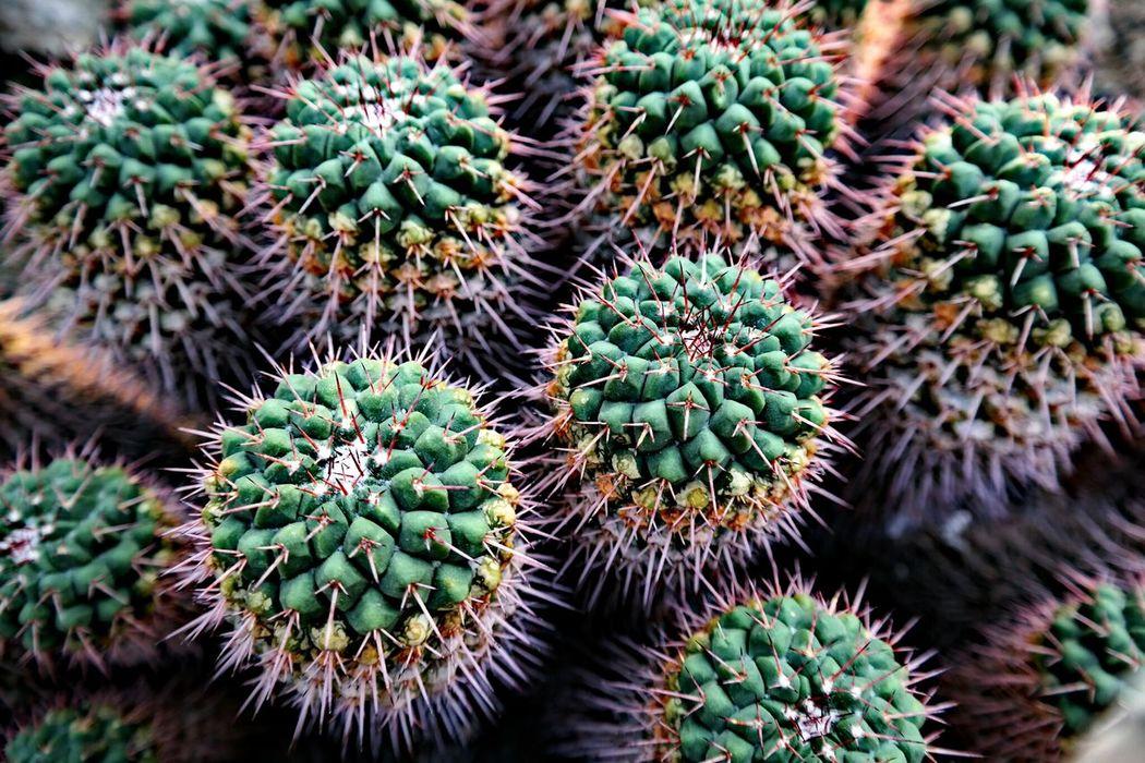 Kaktus Cactus Cactusporn Kaktusse Greenhouse