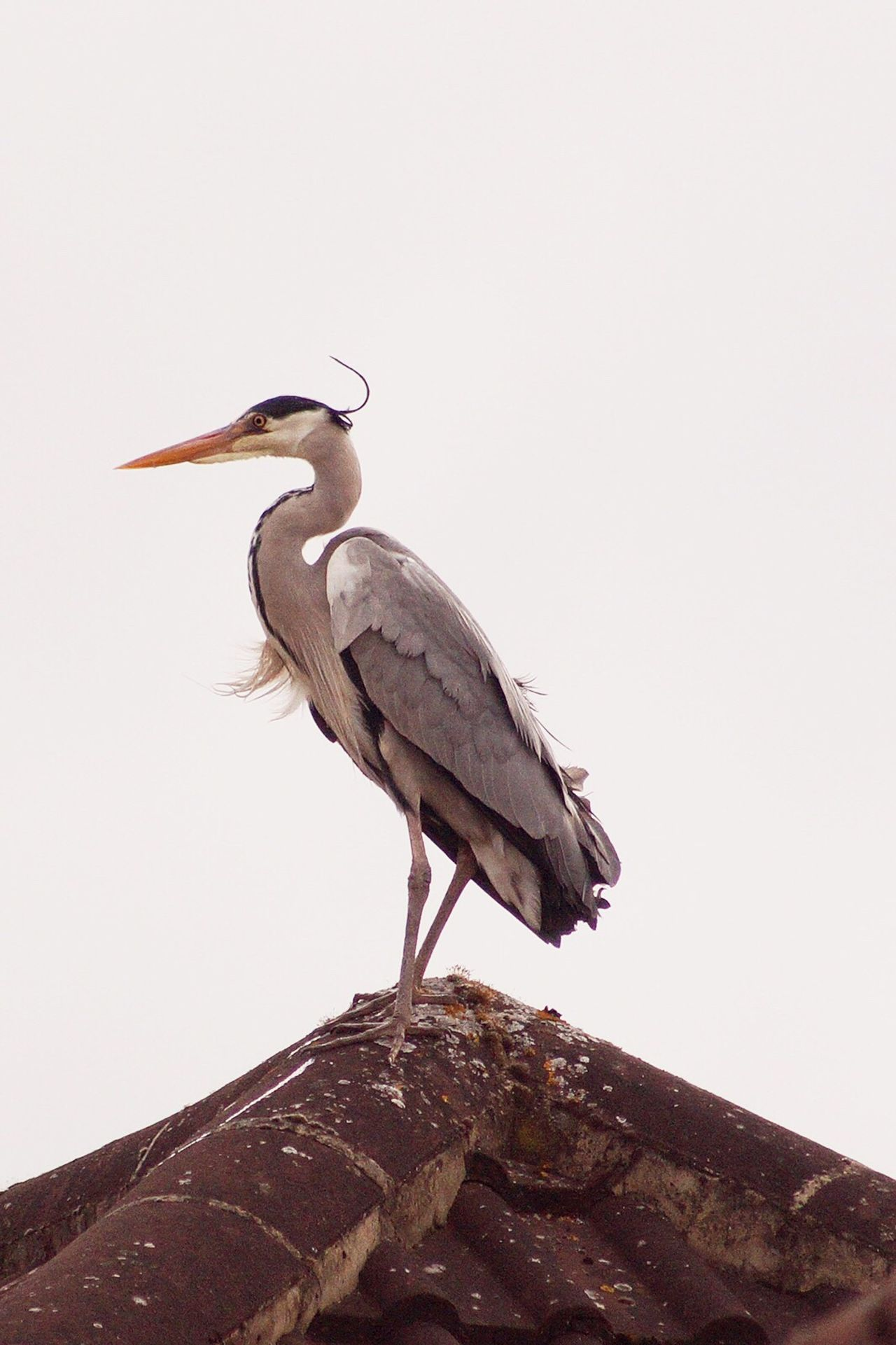 When your the king of the castle Bird Animals In The Wild Animal Themes Perching One Animal Clear Sky Animal Wildlife Heron Day No People Gray Heron Outdoors Nature Full Length Beauty In Nature Sky StoryBirdSeries EyeEm Best Shots EyeEmBestPics EyeEm Gallery Birdwatching Beauty In Nature Animals In The Wild Creativity Valuable