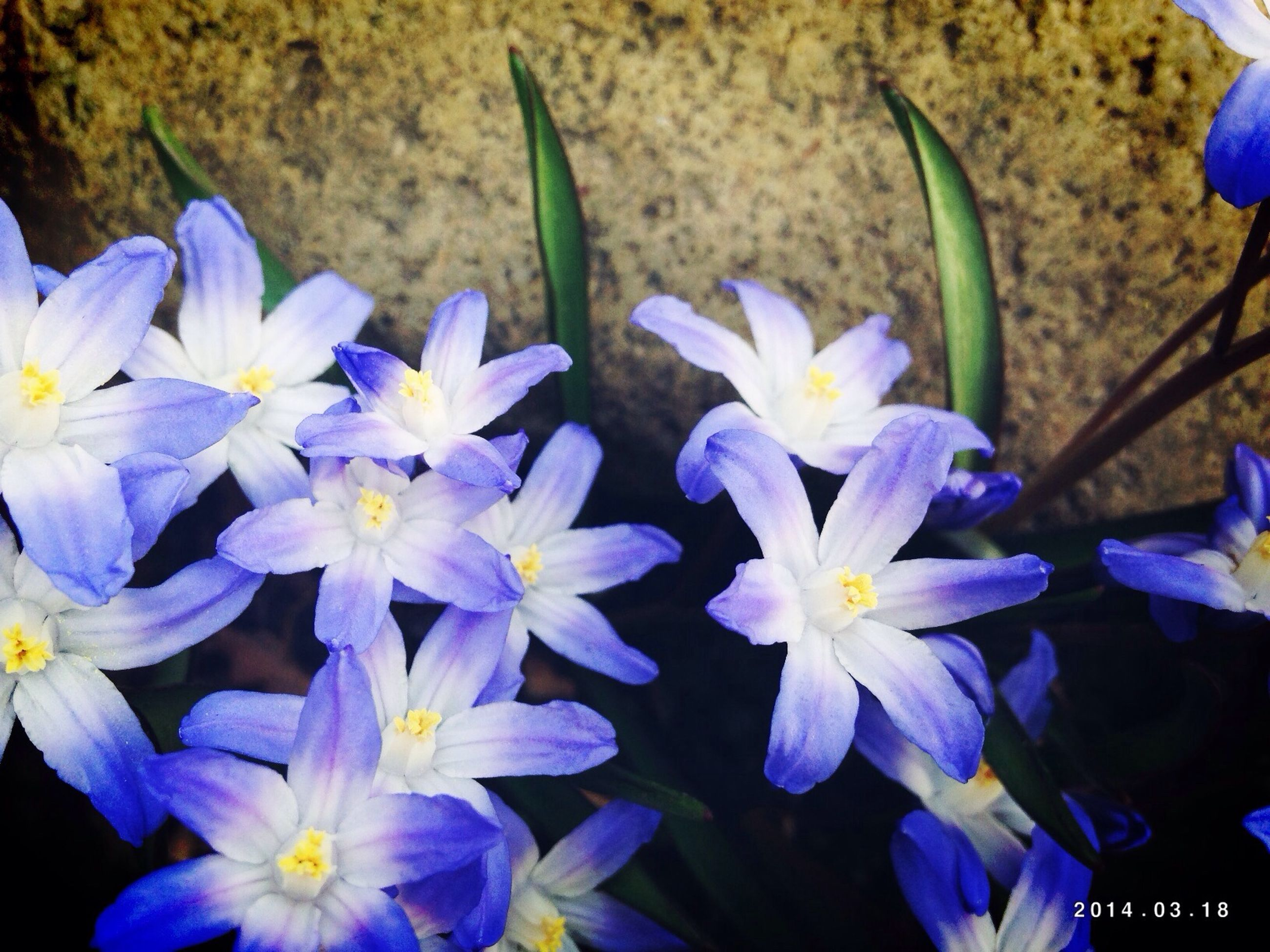 flower, purple, petal, freshness, fragility, blue, growth, flower head, plant, beauty in nature, close-up, blooming, nature, focus on foreground, high angle view, in bloom, park - man made space, selective focus, no people, outdoors