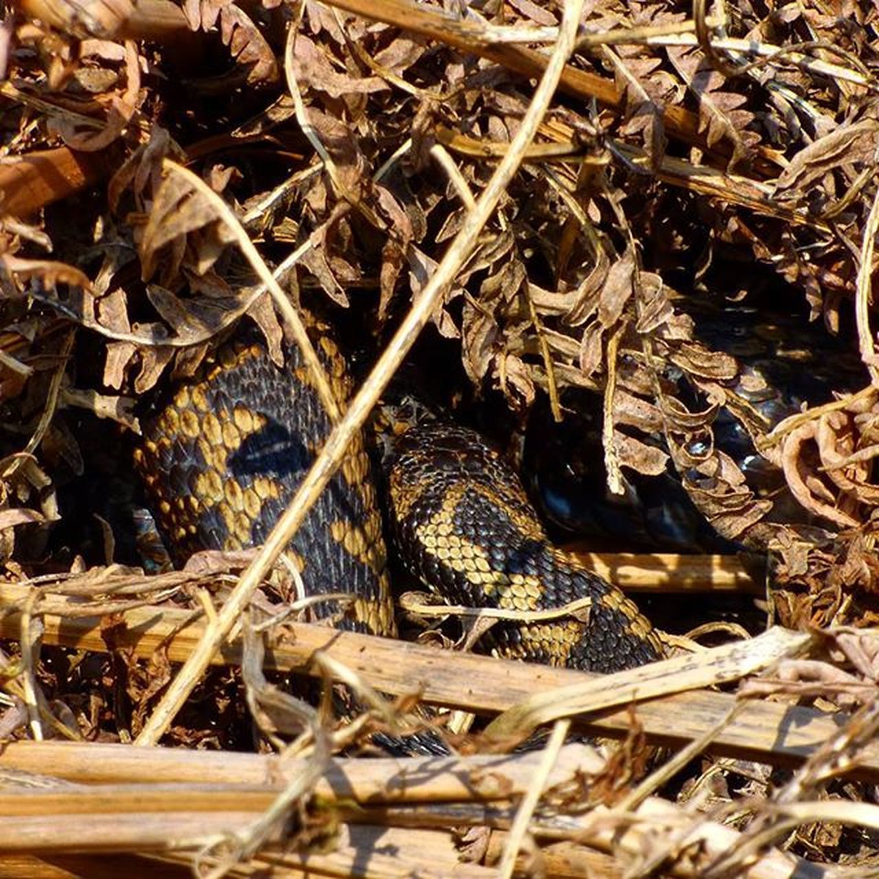 My first ever Wild Adder spot, she's so well camouflaged and was too toasty to come out. The centre coil is the back of her head at Rspbpulborough @rspb_love_nature @sussexwildlifetrust Lumix Snake Reptile Ukwildlife Nature Photography Uknaturecollective Nature Followme Wildlife Nature England Rsa_nature Ukwildlifeimages Naturehippys Exclusive_wildlife Springwatch Ig_sussex