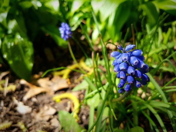 Flower Grape Hyacinths Plant Purple Nature The Great Outdoors - 2017 EyeEm Awards Macro Photography EyeEm Best Shots - Nature Beauty In Nature The Week On Eyem Leaf Outdoors No People Day Close-up Multi Colored Check This Out Mobile Photography EyeEm TeamEyeEm Gallery Getty Images Premium Collection Eyeem Marketplace EyeEmBestPics Eye4photography  EyeEm Best Shots