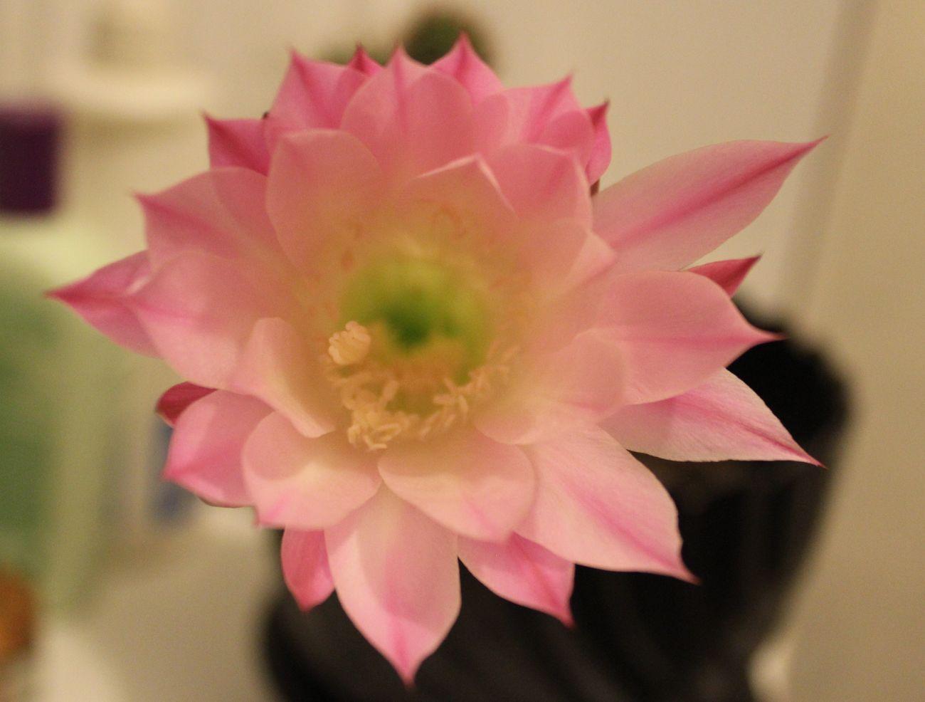 Cactus Cactus Flower Flower Bloom Blooming