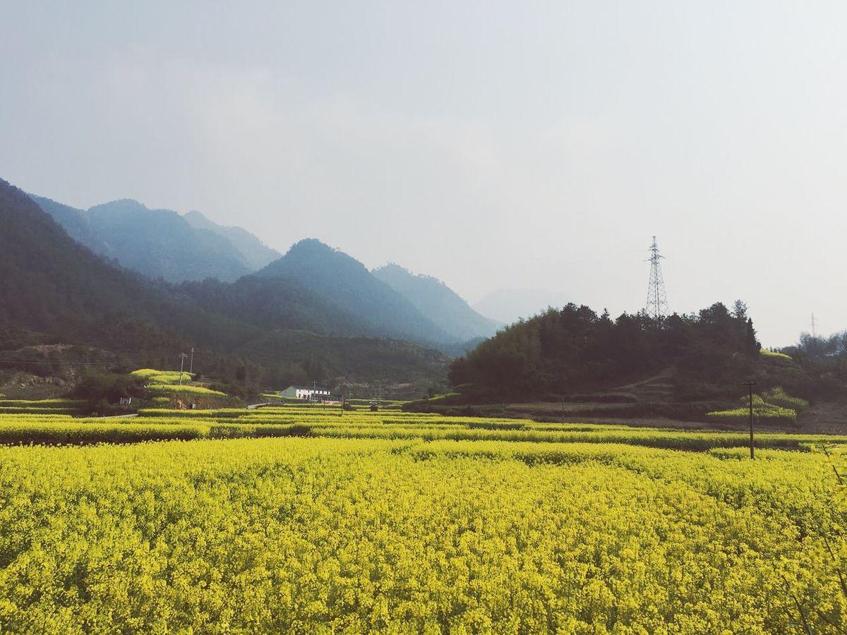 Cellphone Photography Landscape_photography Landscape_Collection RapeFlowers Village Yellow Flower Spring Flowers Spring Springtime Field Yellow