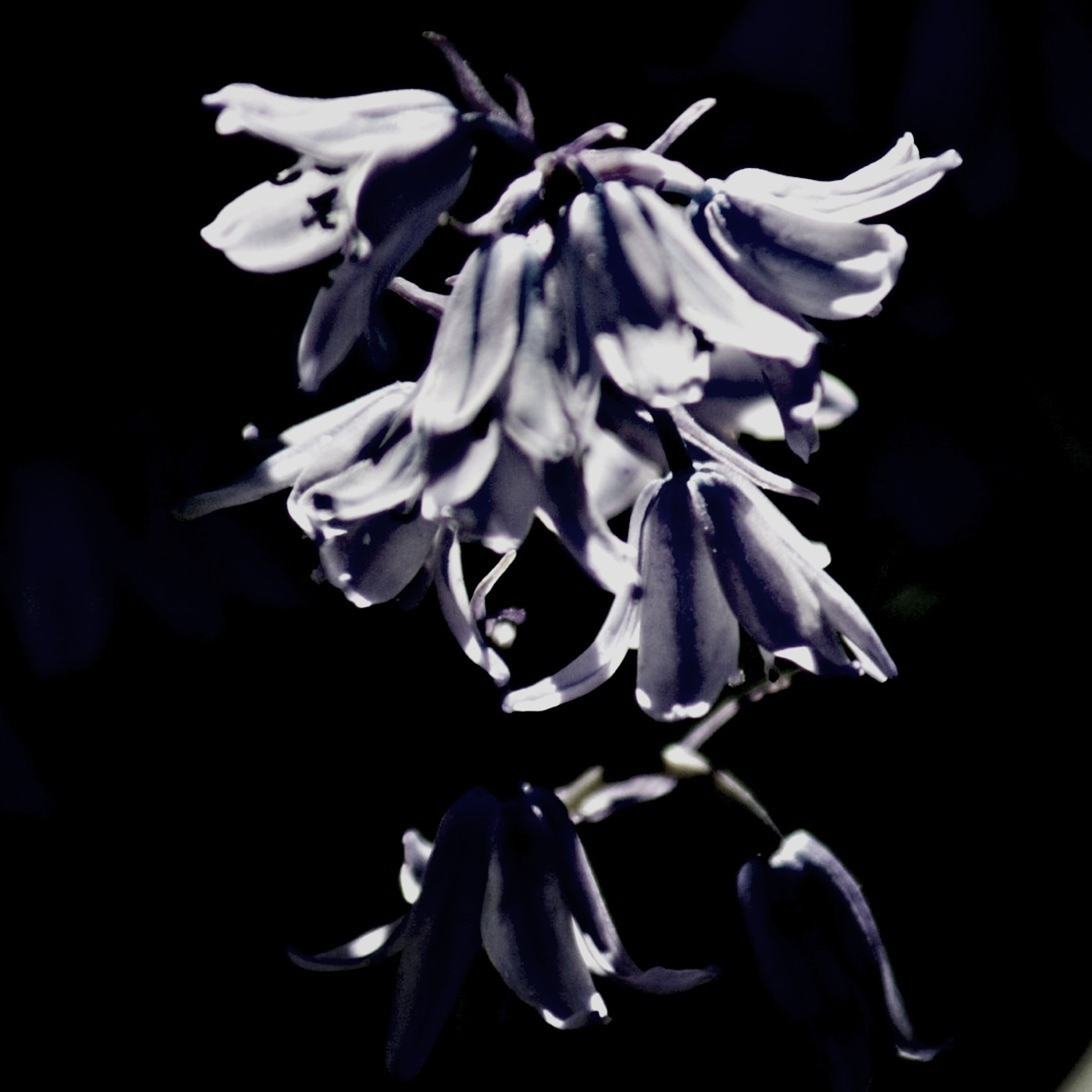 flower, petal, freshness, fragility, flower head, beauty in nature, growth, close-up, nature, black background, blooming, plant, studio shot, focus on foreground, in bloom, night, blossom, no people, selective focus, pollen