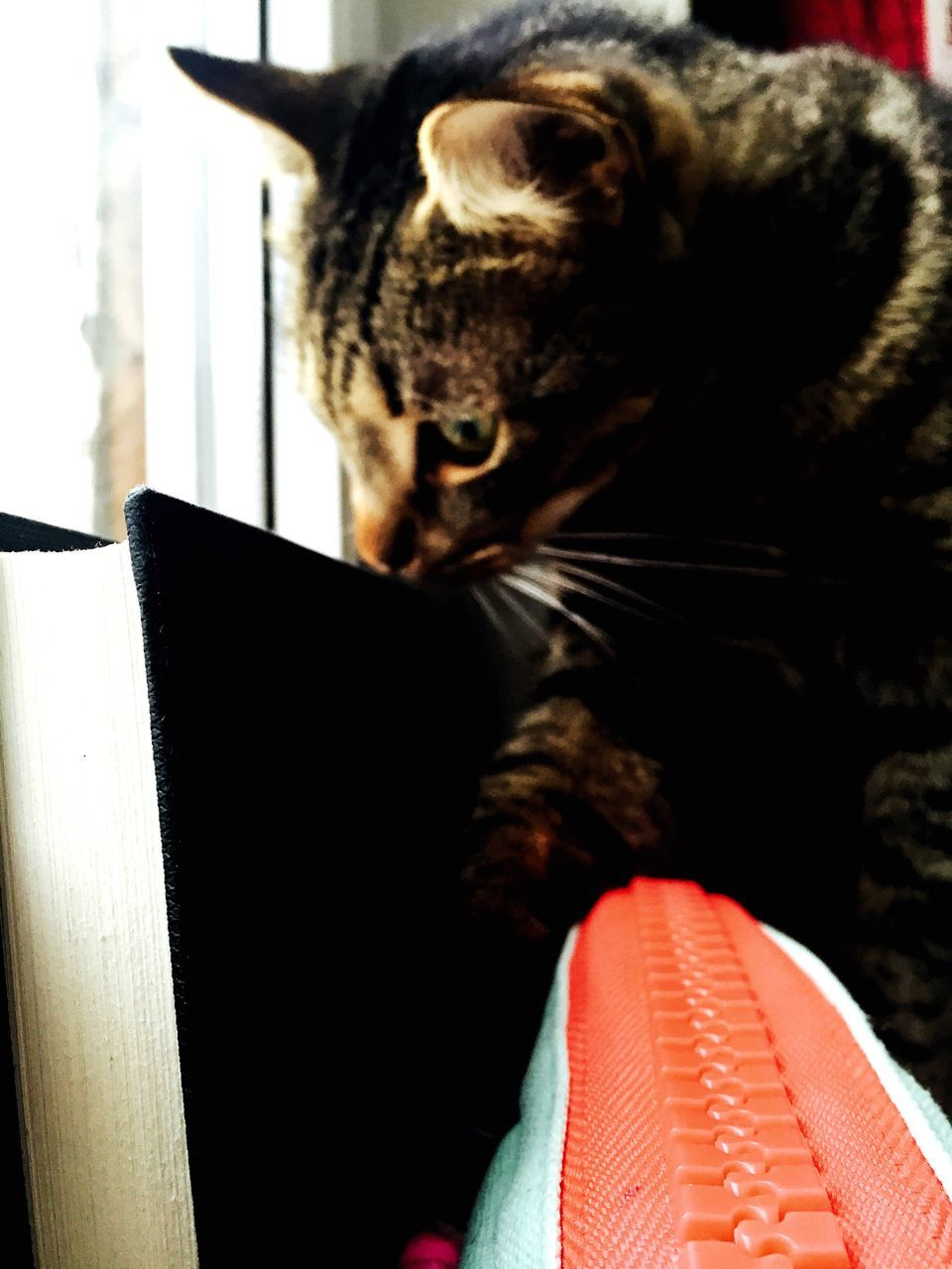 domestic cat, animal themes, one animal, mammal, feline, pets, domestic animals, no people, indoors, day, close-up