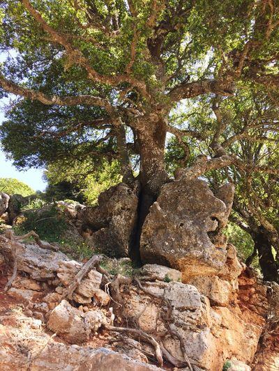 E4 Crete Males  Tree In Rock