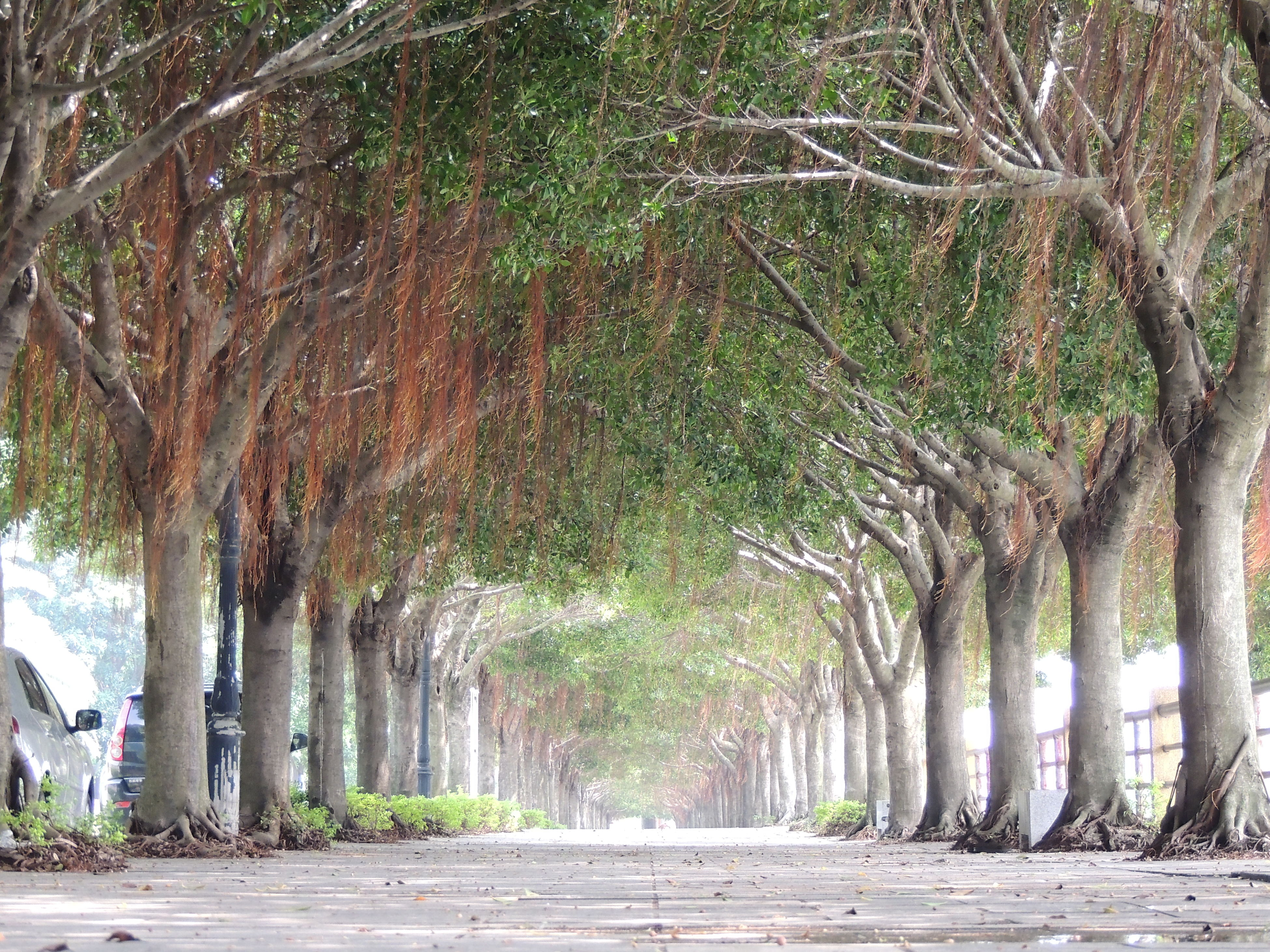 tree, the way forward, tree trunk, footpath, growth, treelined, branch, road, diminishing perspective, transportation, tranquility, nature, walkway, pathway, street, vanishing point, empty, outdoors, beauty in nature, park - man made space