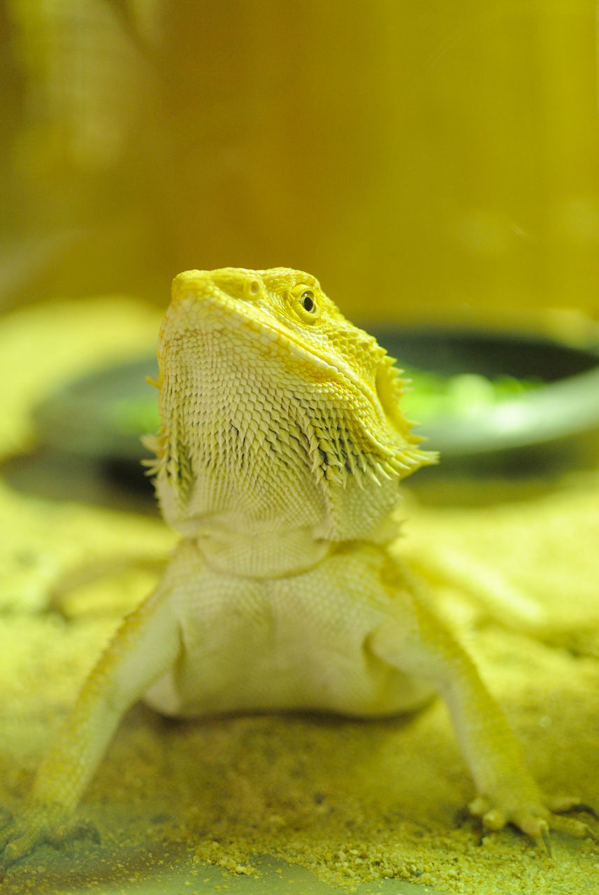 one animal, reptile, animals in the wild, animal themes, animal wildlife, close-up, bearded dragon, no people, nature, green color, day, outdoors