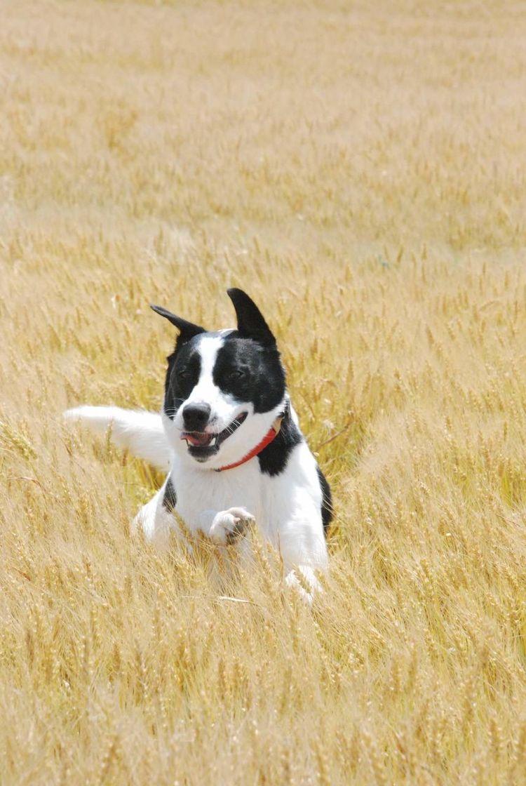 Wheat Field Mutt Fun Love To Run Happy Dog Girls Best Friend Mans Best Friend