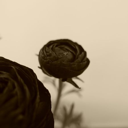 the black poet... Peony  Monochrome Close-up Beautiful Mindfulness Hello World Taking Photos Leica D-lux Typ109