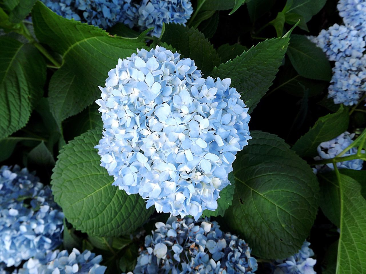 growth, beauty in nature, leaf, flower, hydrangea, nature, green color, freshness, plant, petal, blooming, no people, fragility, day, outdoors, flower head, close-up