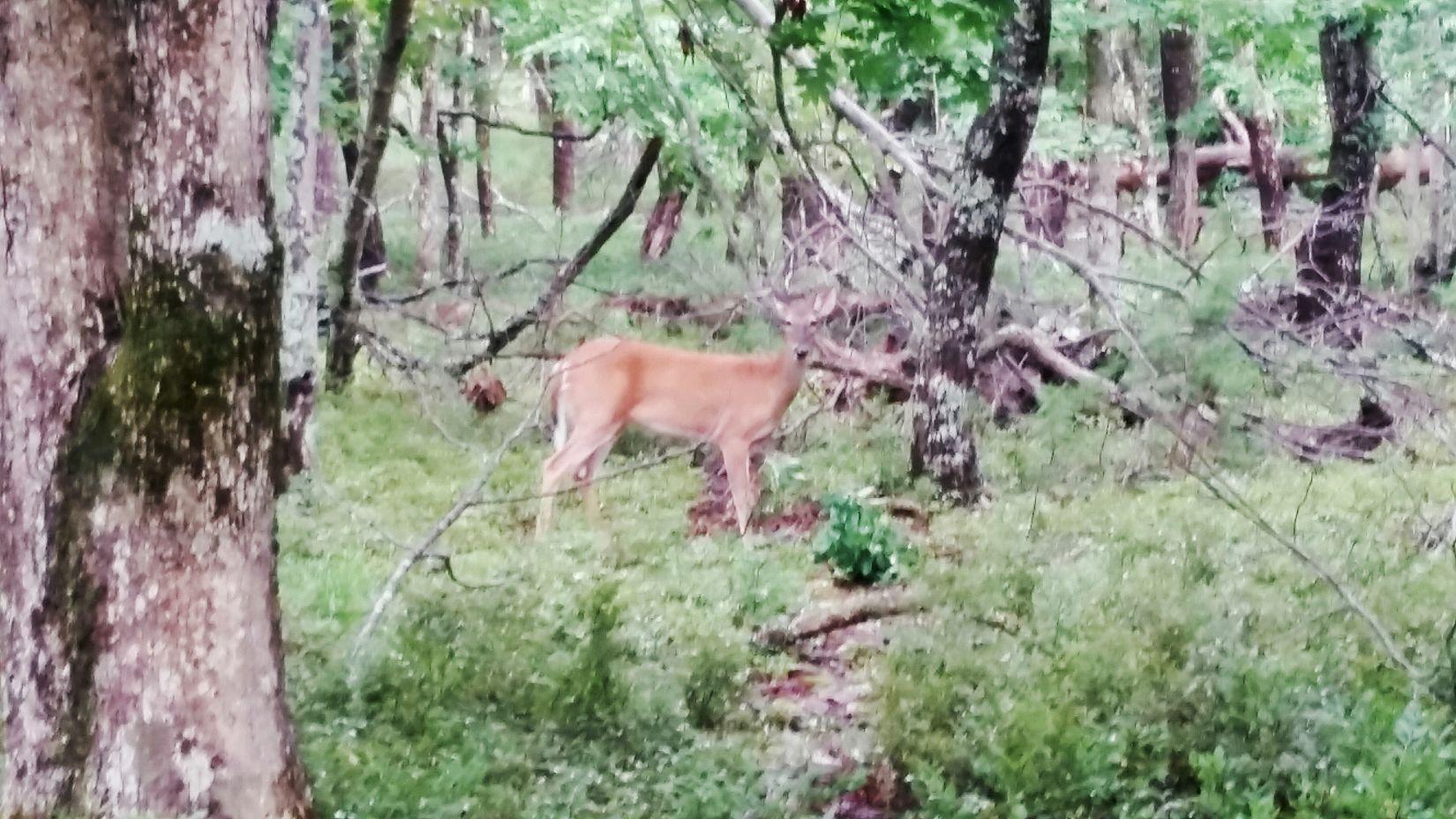 Curious doe. Cheaha State Park Talladega National Forest Alabama