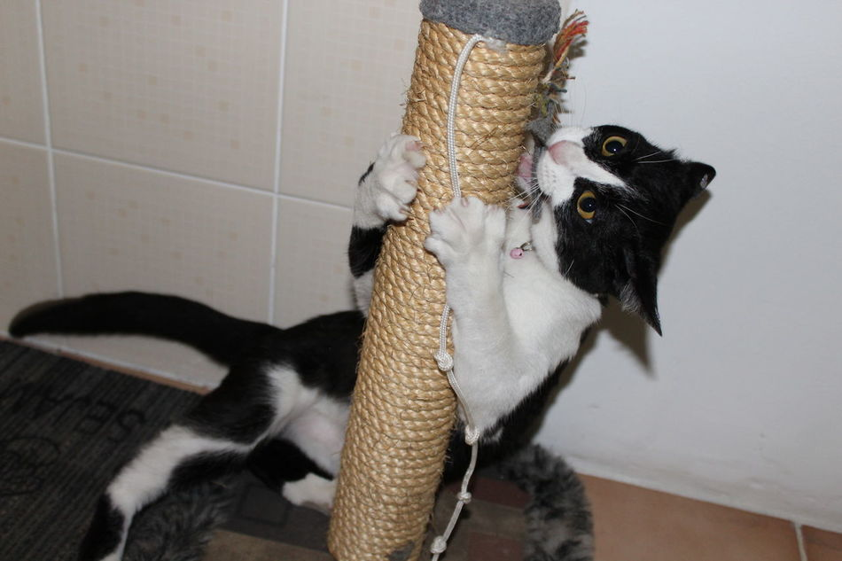 Cat Kitty Pet Frajola Pet Photography  Gato Brincadeira Play Arranhador