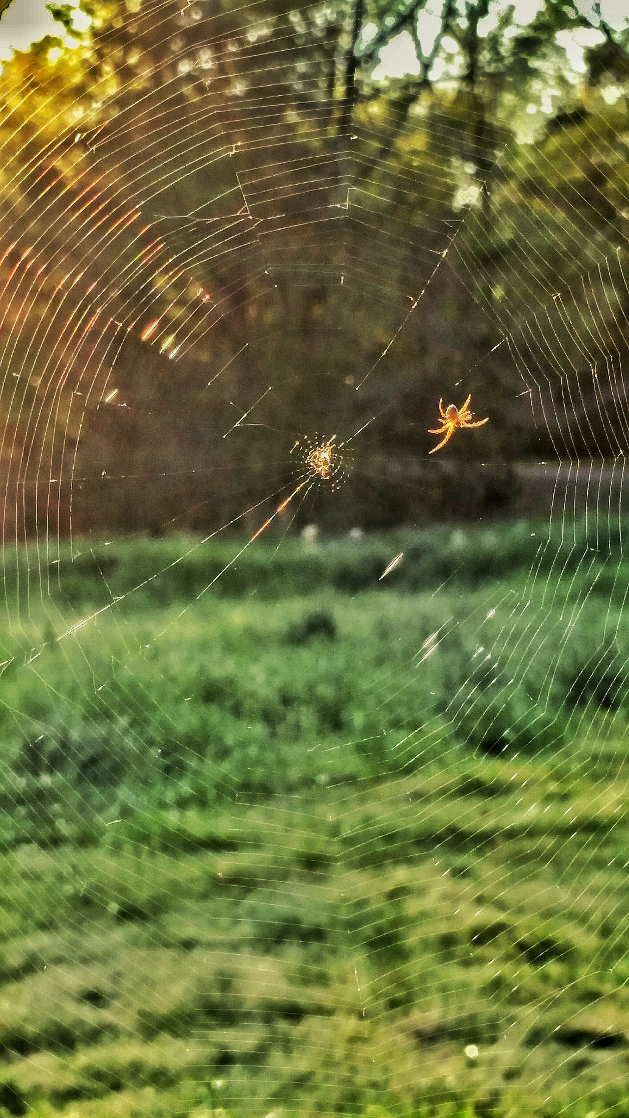 Spider Web Spider Animals In The Wild One Animal Animal Themes Nature No People Animal Wildlife Close-up Beauty In Nature Outdoors Day Insect Water Web Tree Design Patterns Sun Streaks Sunbeams Hanging Out Spider Web And Sunrise Trap Insect Home Insect Photography