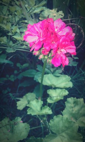 ❤🌺 Flower Fragility Petal Nature Plant Beauty In Nature Flower Head Pink Color Growth Freshness Day Outdoors No People Close-up Leaf