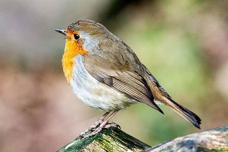 Strike a Pose Robin Nspb Watersmeet Lynton Lynmouth Britishbirds