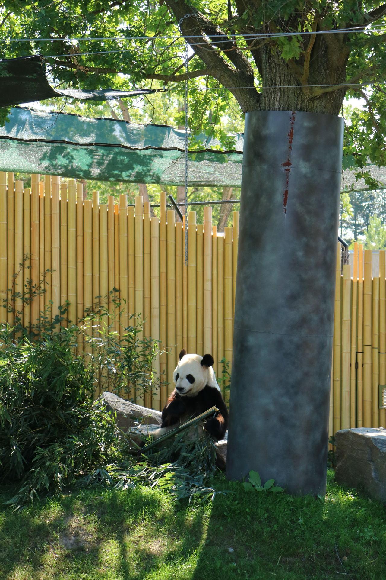 Animal Themes Bamboo Fence Day Grass Green Color Mammal Nature No People One Animal Outdoors Panda Bear Toronto Zoo Tree