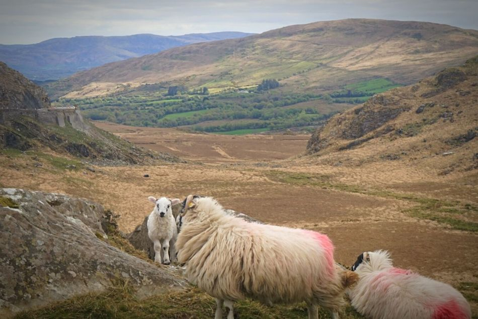 Nature Sheep Mountain Landscape Animal Themes Animals In The Wild Outdoors View No People Nature Photography Love To Take Photos ❤ Ireland ☘ EyeEm Nature Lover Beauty In Nature Nature Reserve Amateurphotography Hobbyphotography Rural Scene Field Mountain Range