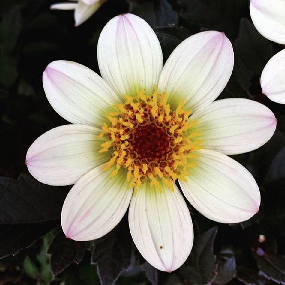 Nature Flowers Flower Plant Plants Wildlife Summer Dahliahappy cream Dahlia Dahlias Dahliahappy